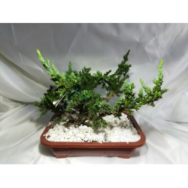 Planta de Bonsai pino