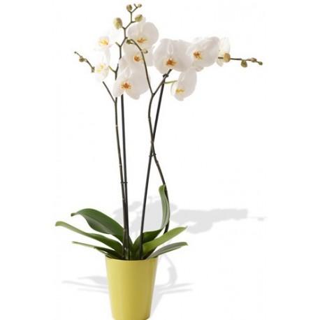 Planta de Orquídea (Phalaenopsis)