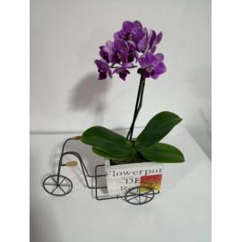 Orquídea mini en bici