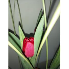Planta de tulipanes Naturales